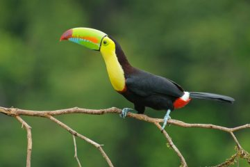 Keel_billed_toucan_costa_rica-1024x681
