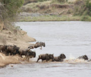 Wildebeeste crossing the Mara rive rin Maasai Mara Kenya 1