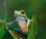 Costa-Rica-grenouille