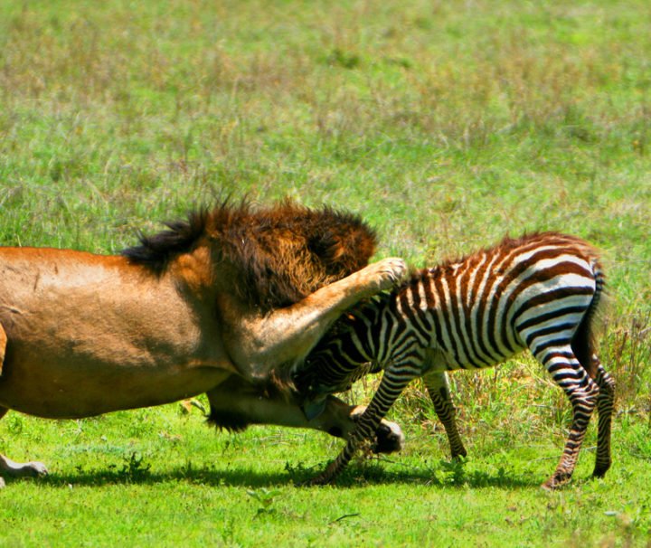 King of the jungle in action see this with latitude africa 1
