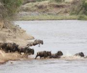 Wildebeeste crossing the Mara rive rin Maasai Mara Kenya 1